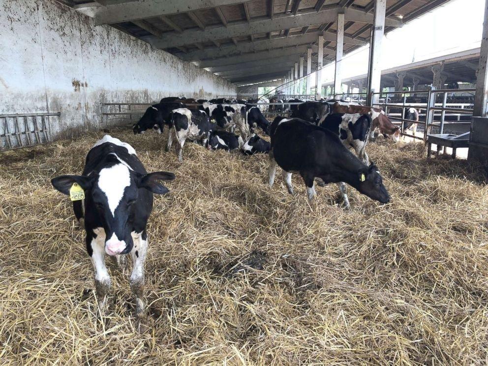 Cows at Hombre Farm